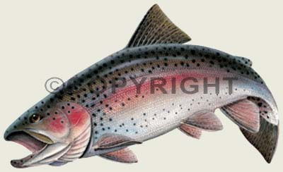Freshwater Game Fish Color Decals Rainbow Trout Sticker