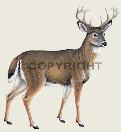 Wildlife Color Decals Whitetail Deer Sticker