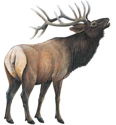 Wildlife Color Decals Elk Full Color Elk Sticker