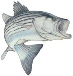 Action Striper Decal