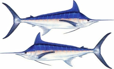 Saltwater fish decals from fishstix blue marlin twin pack for Saltwater fishing decals