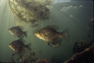 Black Crappie Fish Photo Print