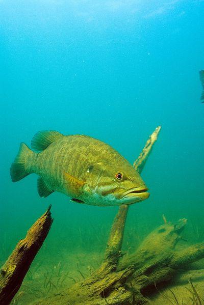 Smallmouth Bass 2 Fish Photo Print